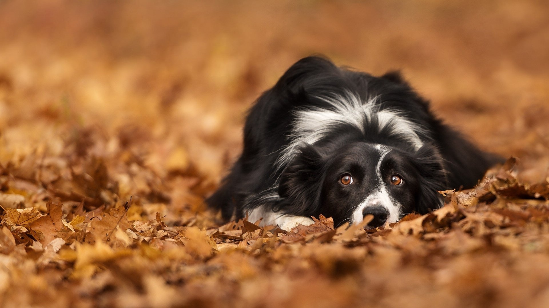 Border Collie HD Wallpaper