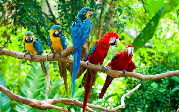 Animal Macaw Birds Parrots Parrot Blue-And-Yellow Macaw red-and-green Macaw HD Wallpaper   Background Image