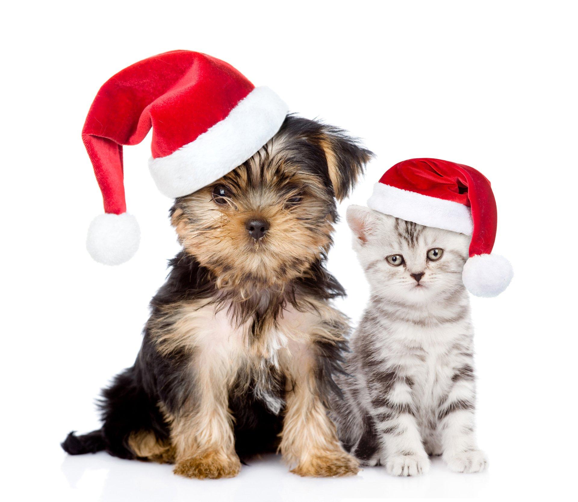 Puppy And Kitten With Santa Hats 4k Ultra HD Wallpaper