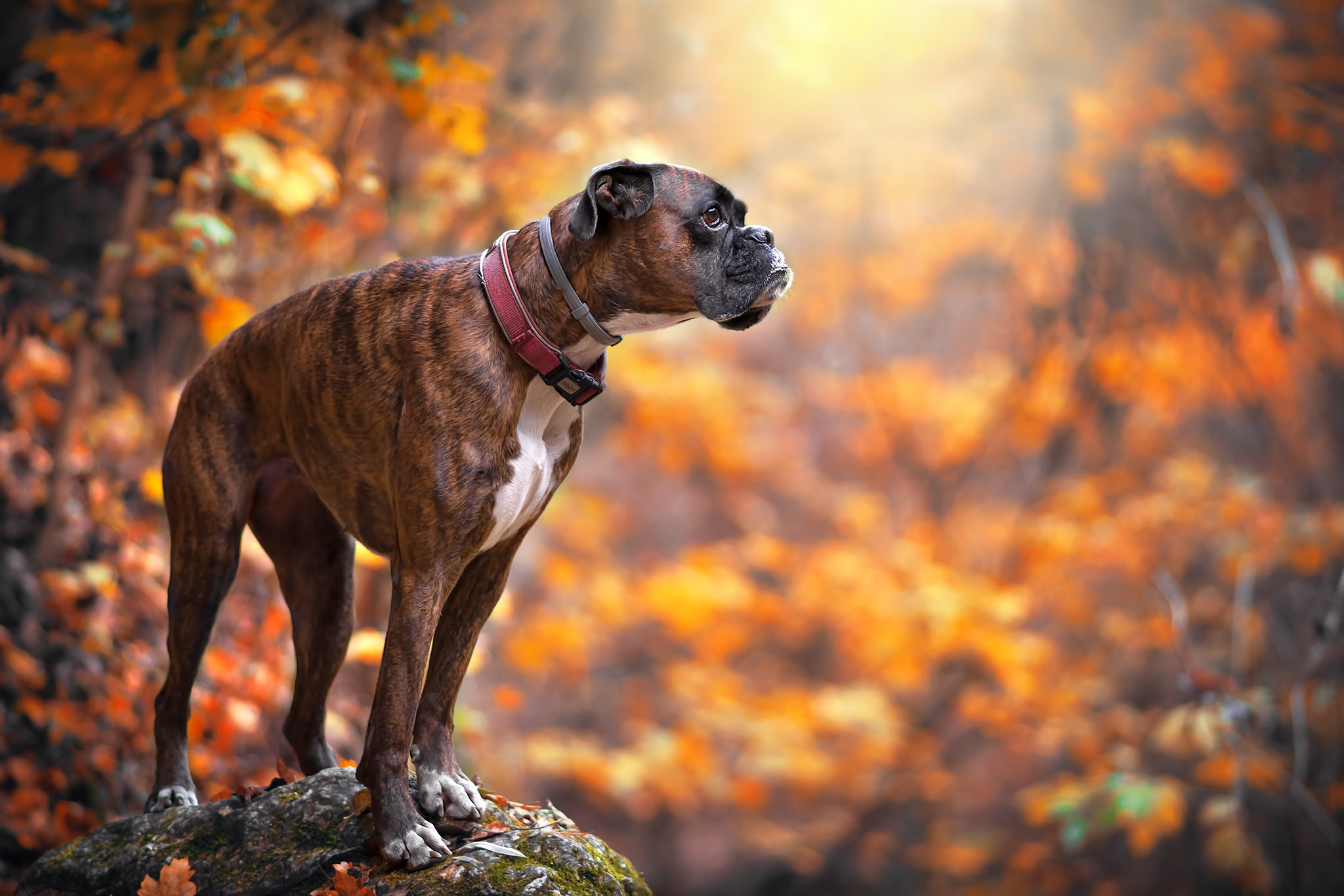 boxer hd wallpaper background image 2048x1365 id 778597