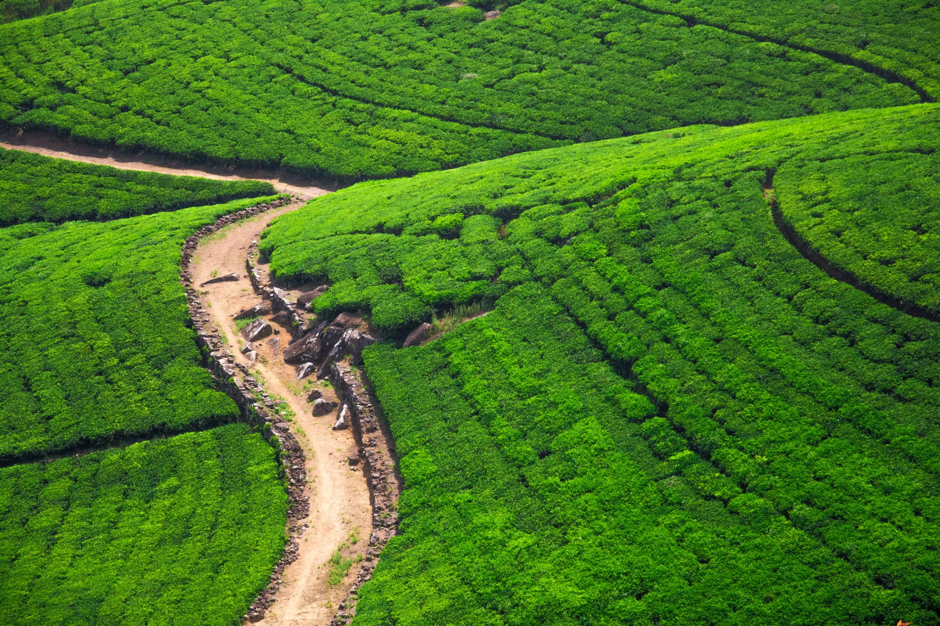 Man Made - Tea Plantation  Field Nature Hill Path Wallpaper