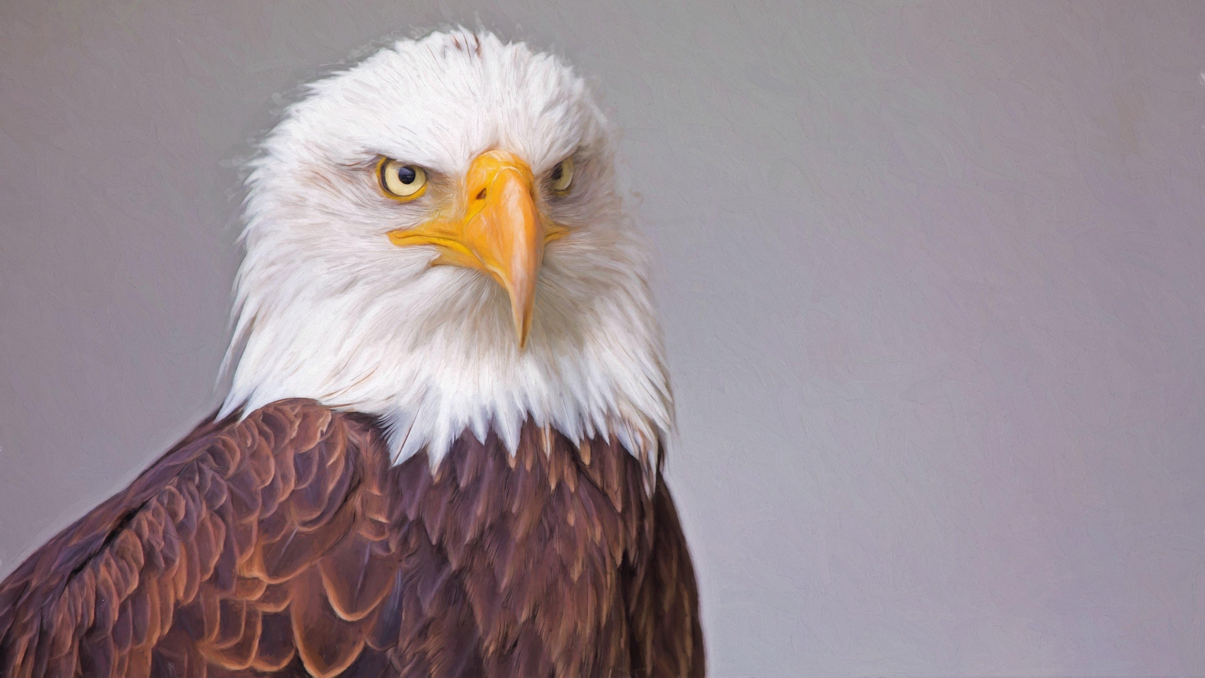 Bald Eagle 4k Ultra HD Wallpaper | Background Image ...
