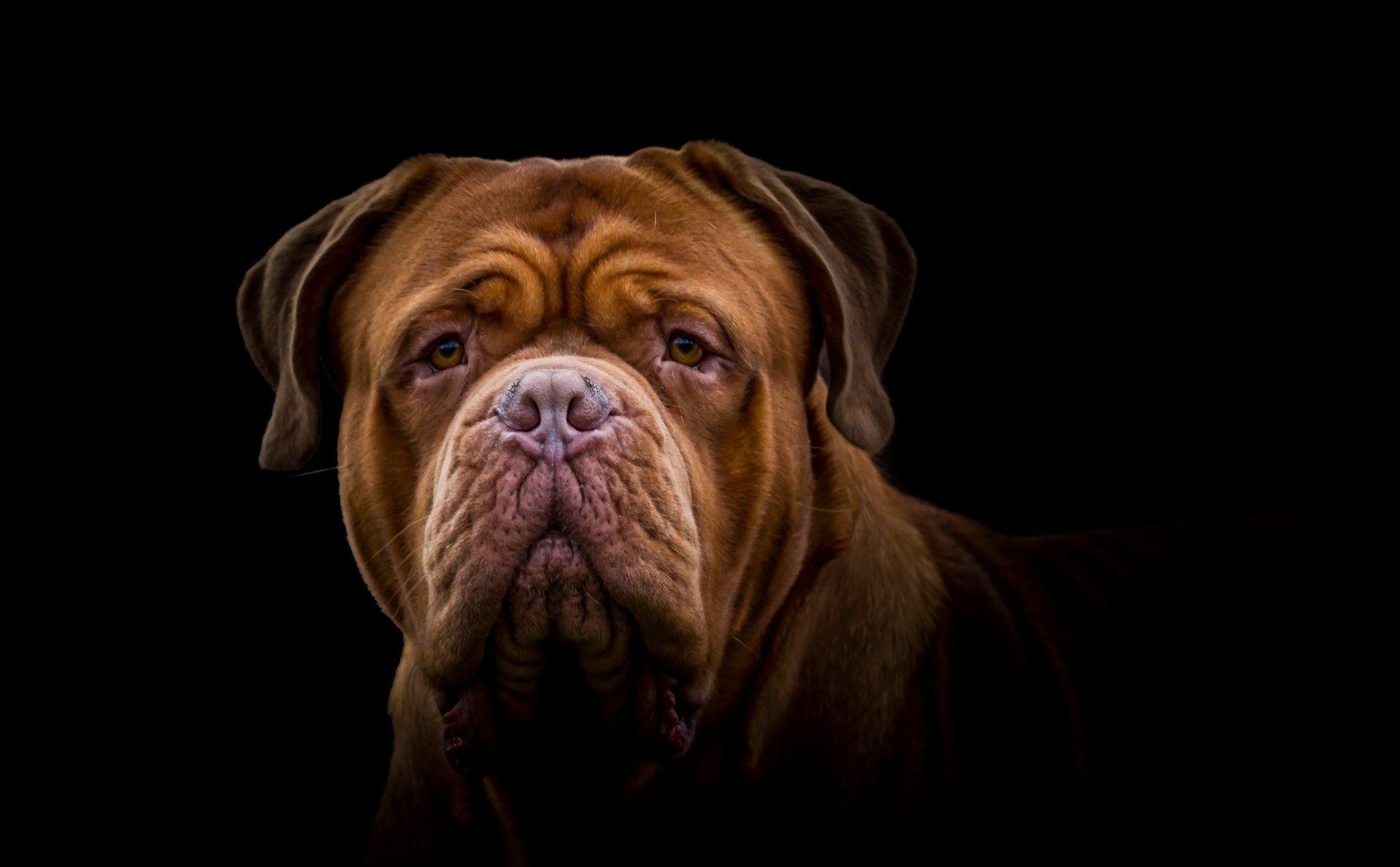 Animal - Dogue de Bordeaux  Dog Muzzle Mastiff Wallpaper