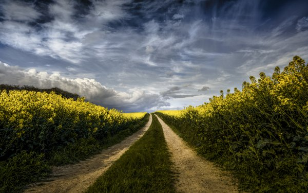 Earth Path Field Rapeseed Yellow Flower HD Wallpaper   Background Image