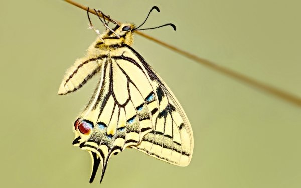 Animal Swallowtail Butterfly Insects Butterfly Insect Simple Minimalist Close-Up HD Wallpaper   Background Image