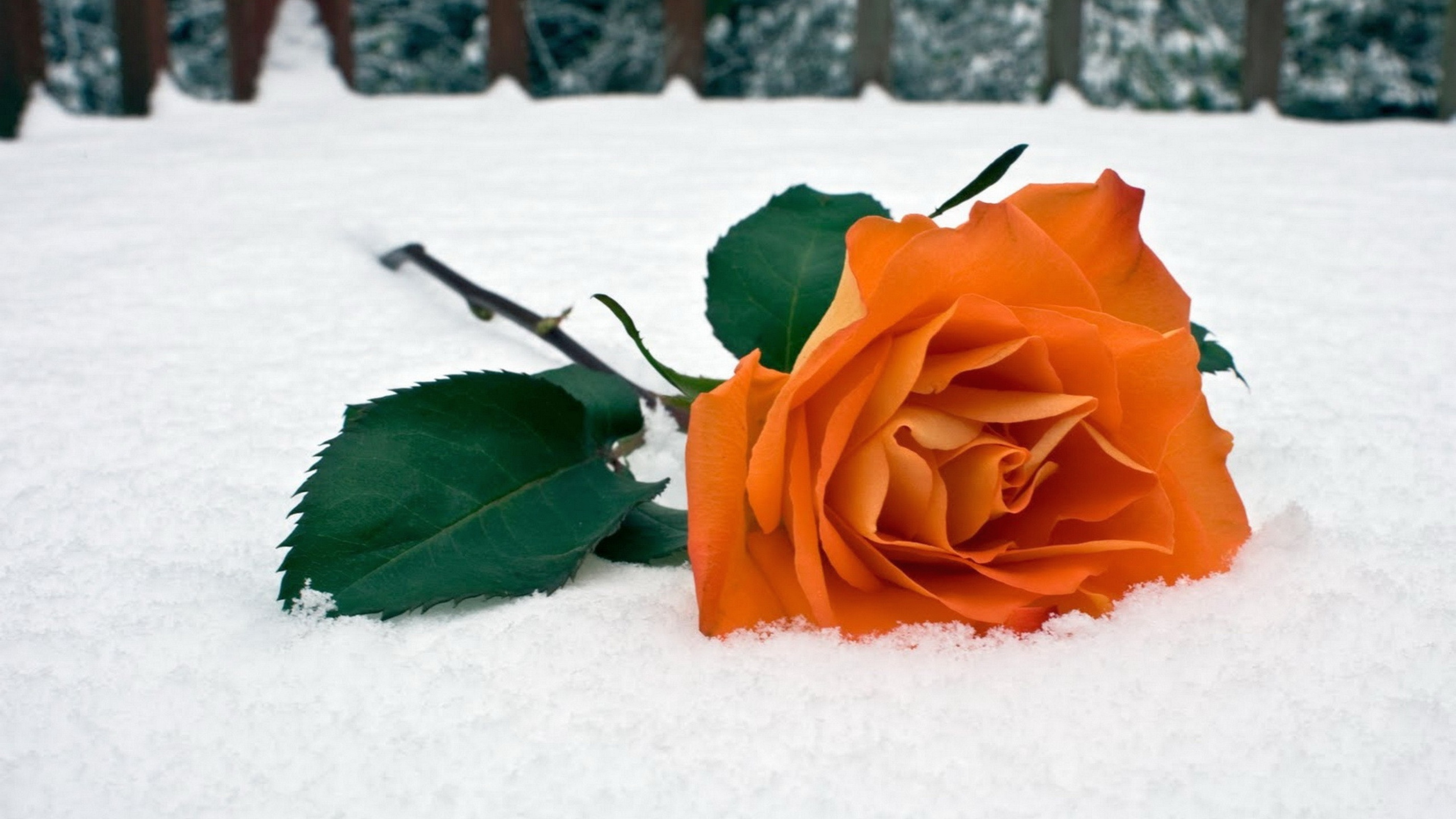 Orange Rose In The Snow Hd Wallpaper Background Image
