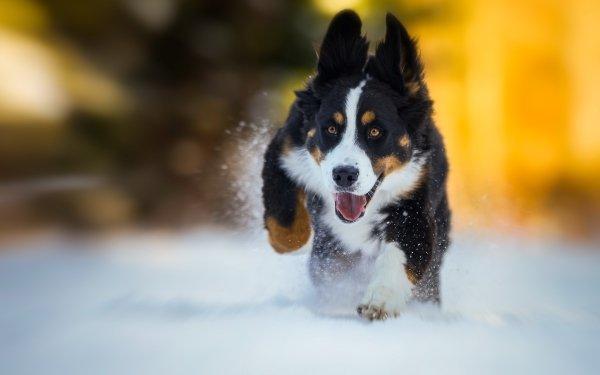 Animal Sennenhund Dogs Dog Blur Bernese Mountain Dog HD Wallpaper | Background Image