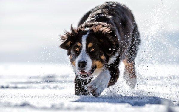 Animal Sennenhund Dogs Dog Snow Bernese Mountain Dog HD Wallpaper | Background Image