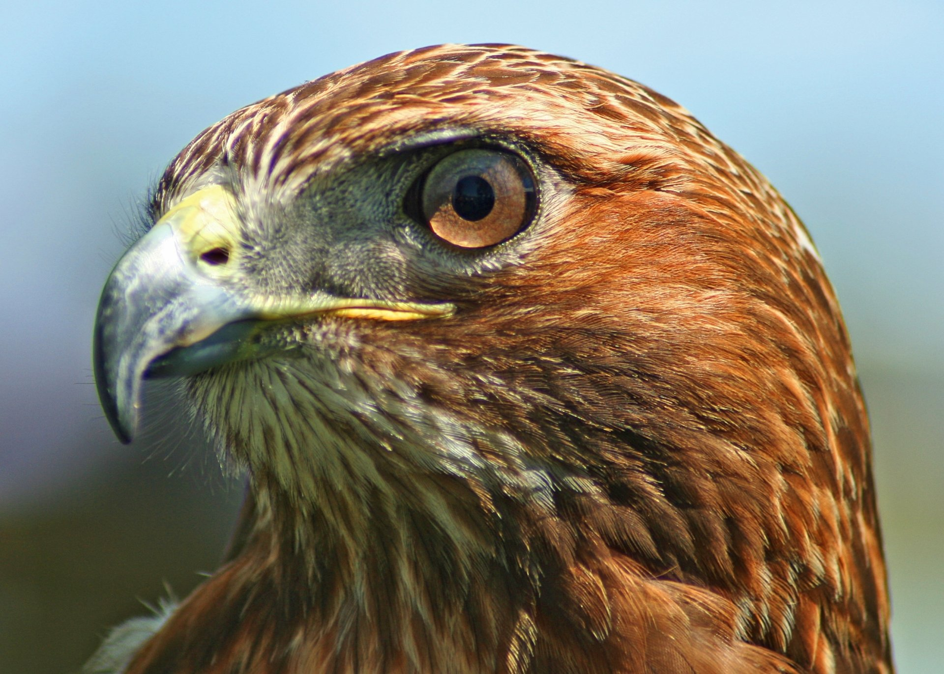 5 red tailed hawk hd wallpapers background images - Red tailed hawk wallpaper ...