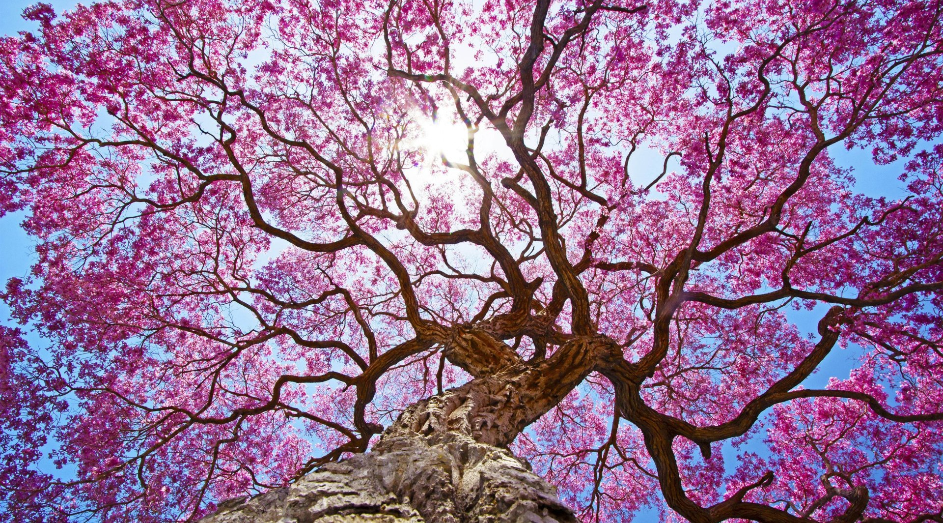 Earth - Blossom  Earth Tree Sakura Pink Canopy Wallpaper