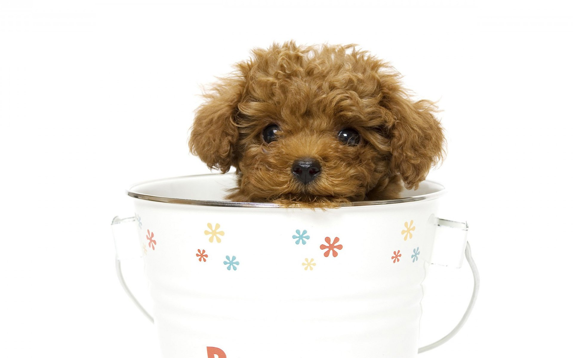 Teacup Poodle In A Teacup Hd Wallpaper Background Image 1920x1200 Id 814118 Wallpaper Abyss