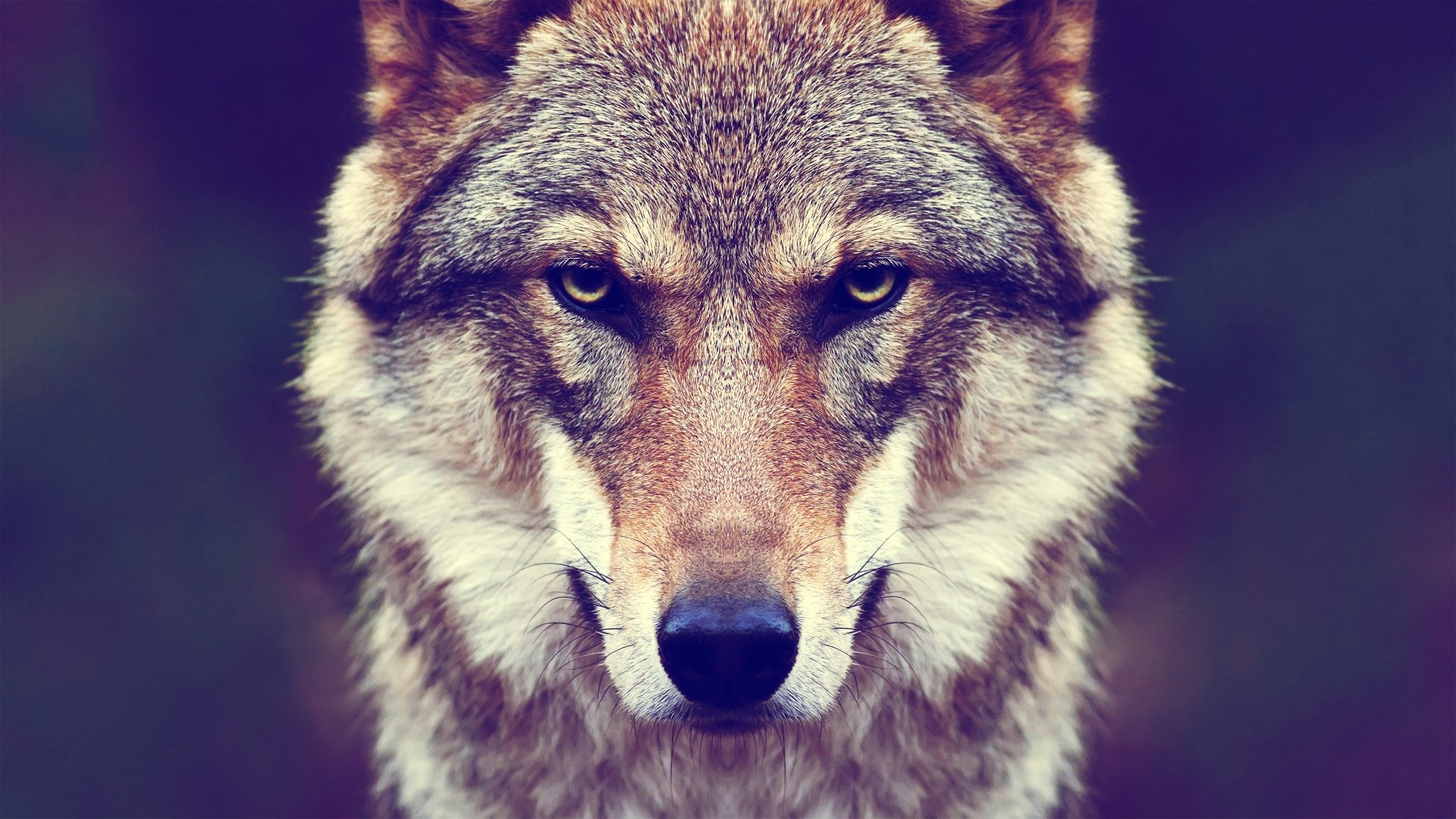 142 4k Ultra Hd Wolf Wallpapers Background Images Wallpaper Abyss