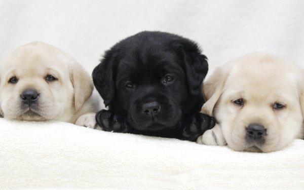 Animaux Labrador Retriever Chiens Golden Retriever Chiot Chien Baby Animal Fond d'écran HD | Arrière-Plan