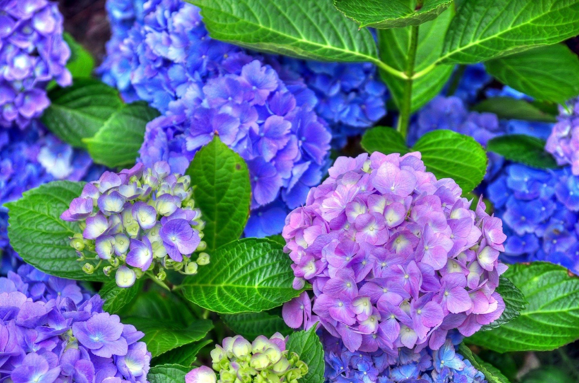 Purple And Blue Hydrangeas HD Wallpaper