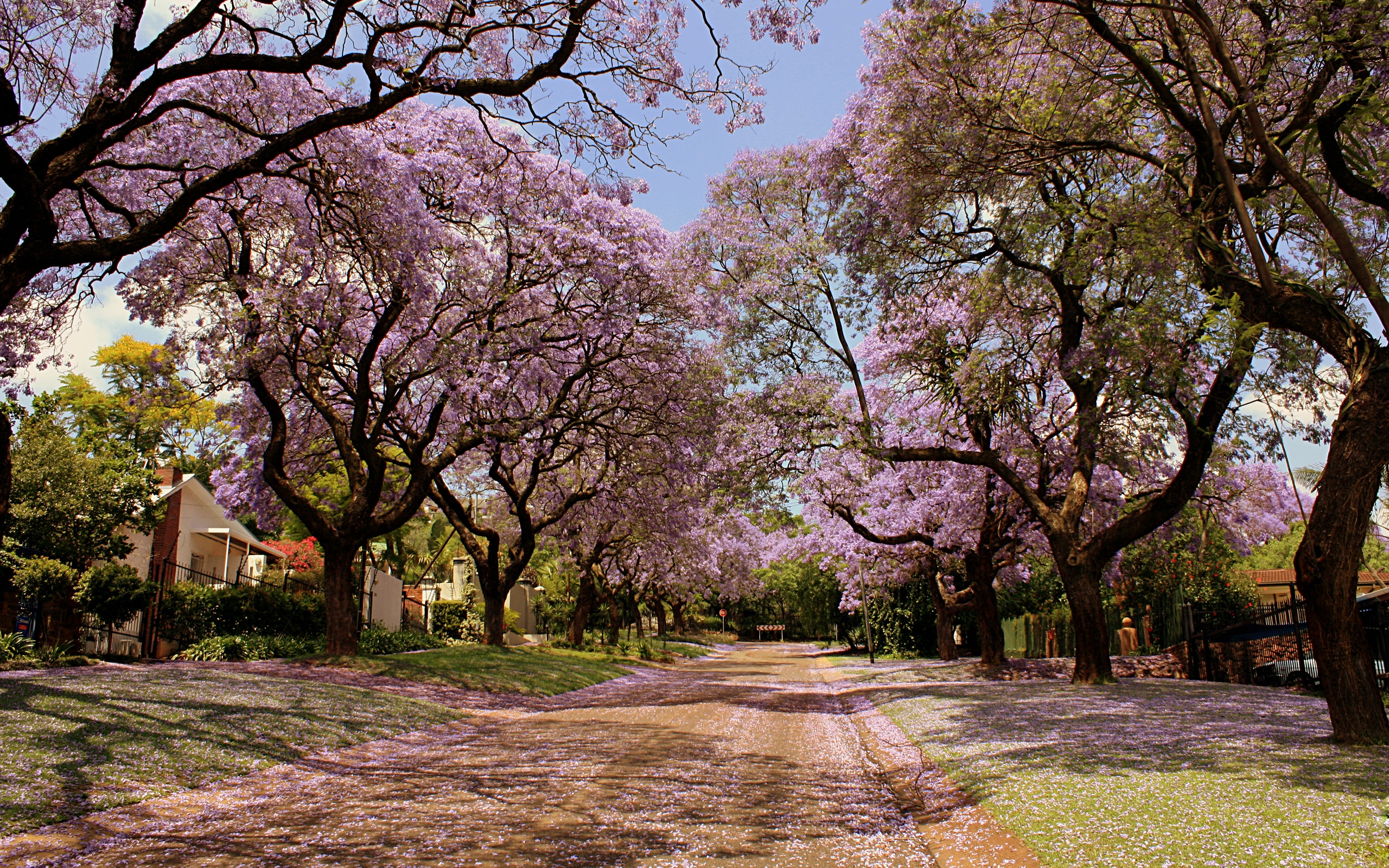 Sakura Trees Lining The Street HD Wallpaper