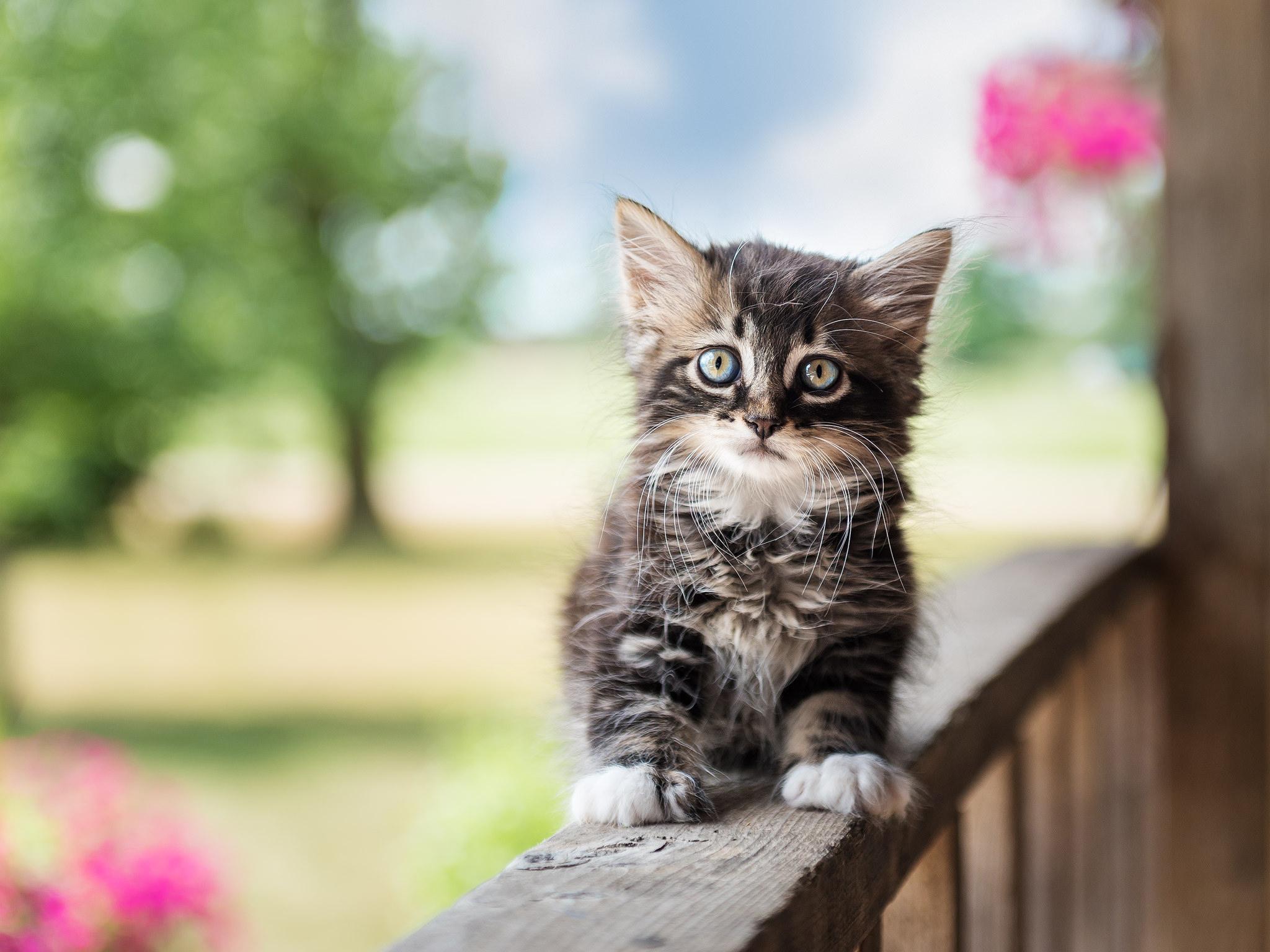 Cute Kitten HD Wallpaper   Background Image   2048x1536 ...