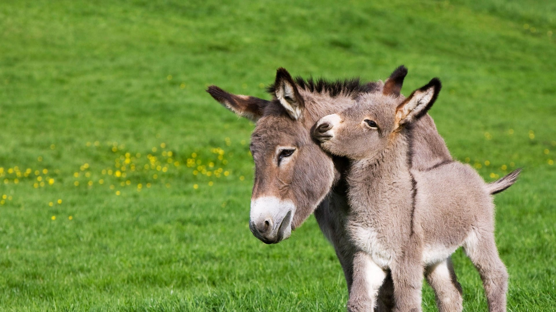 Donkey Full HD Wallpaper And Background Image