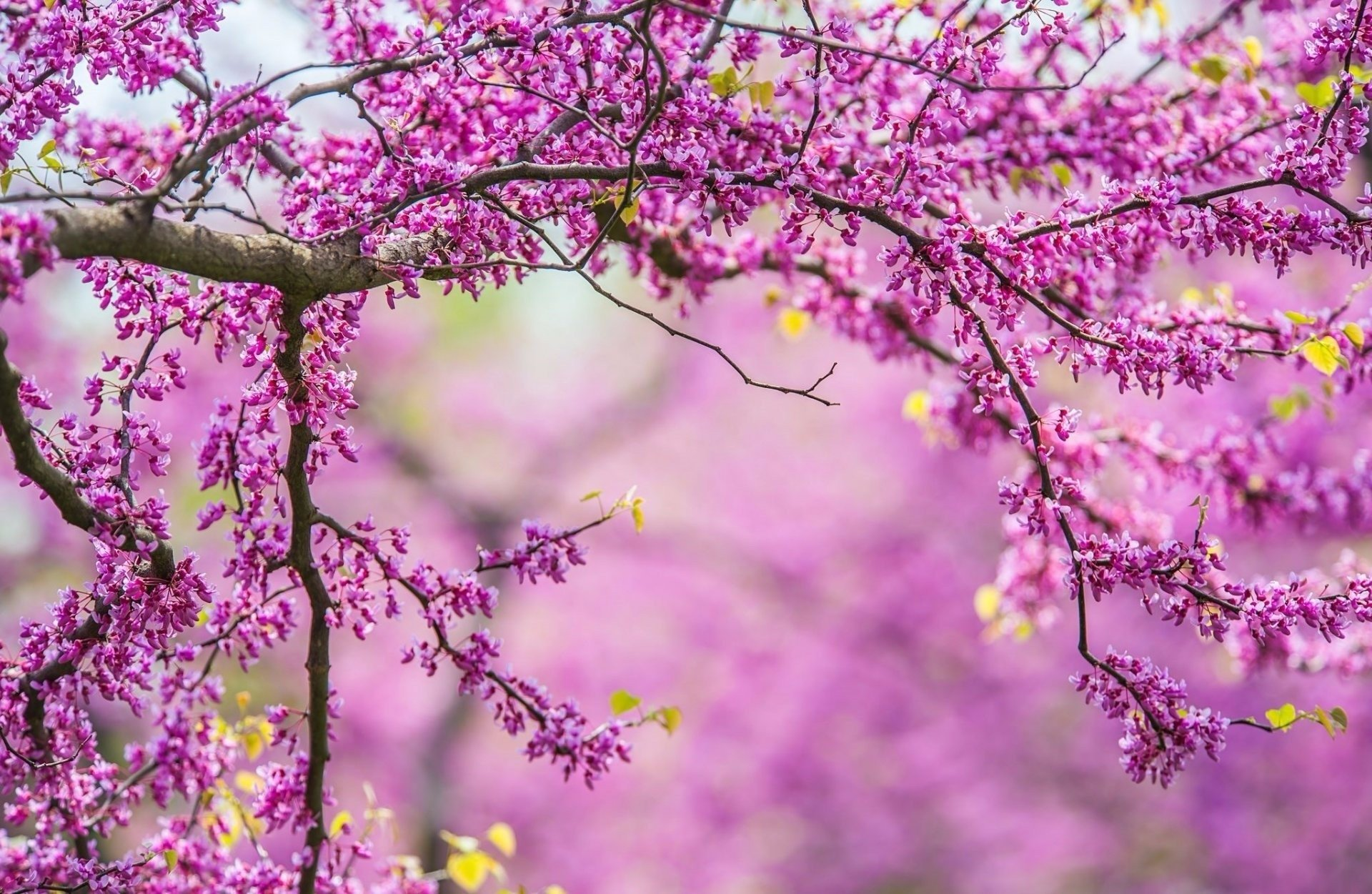 Earth - Blossom  Earth Purple Flower Branch Tree Wallpaper