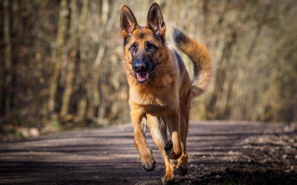 Animal German Shepherd Dogs Dog Running HD Wallpaper | Background Image