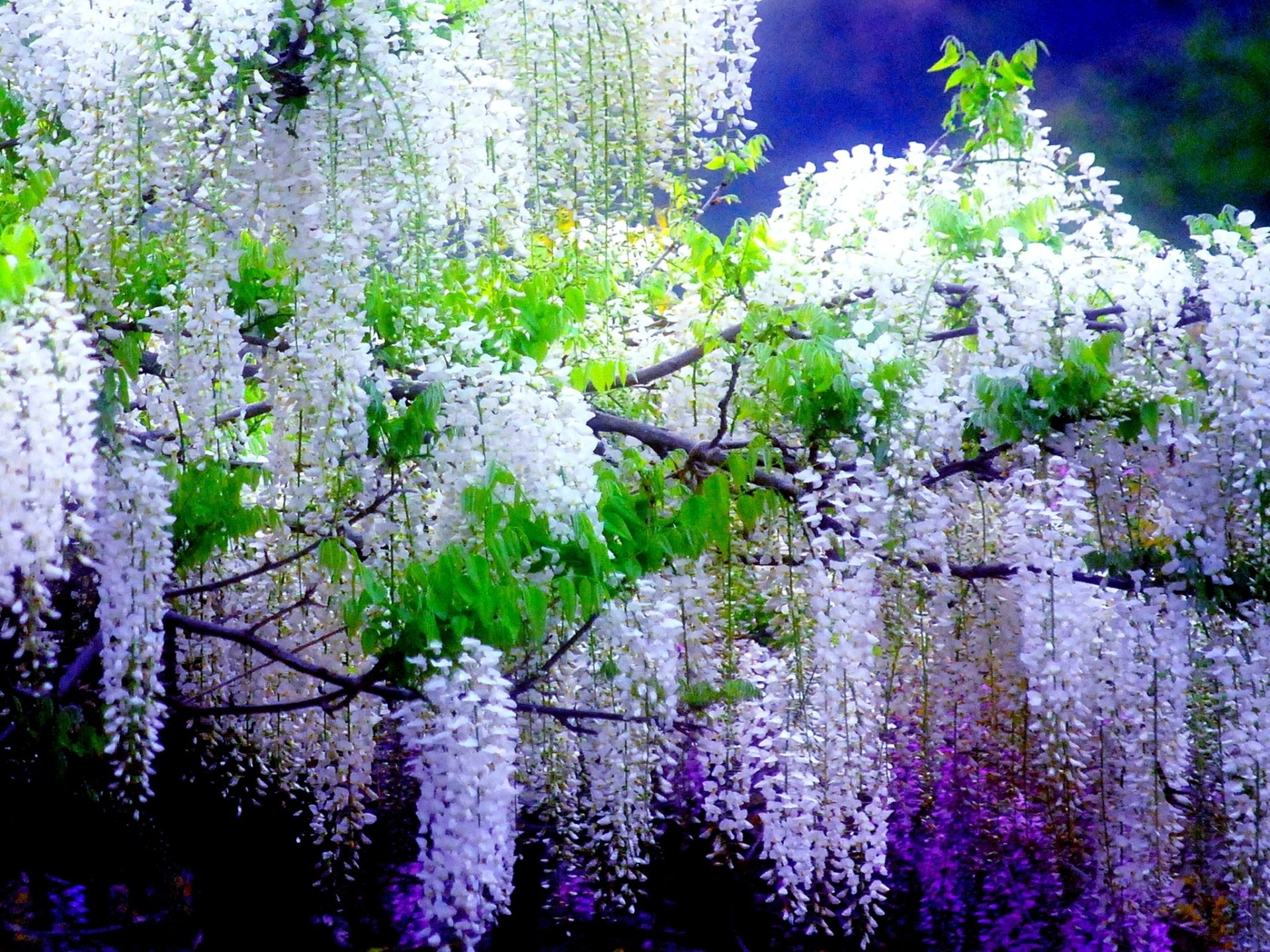 Wisteria Trees Full Hd Wallpaper And Background