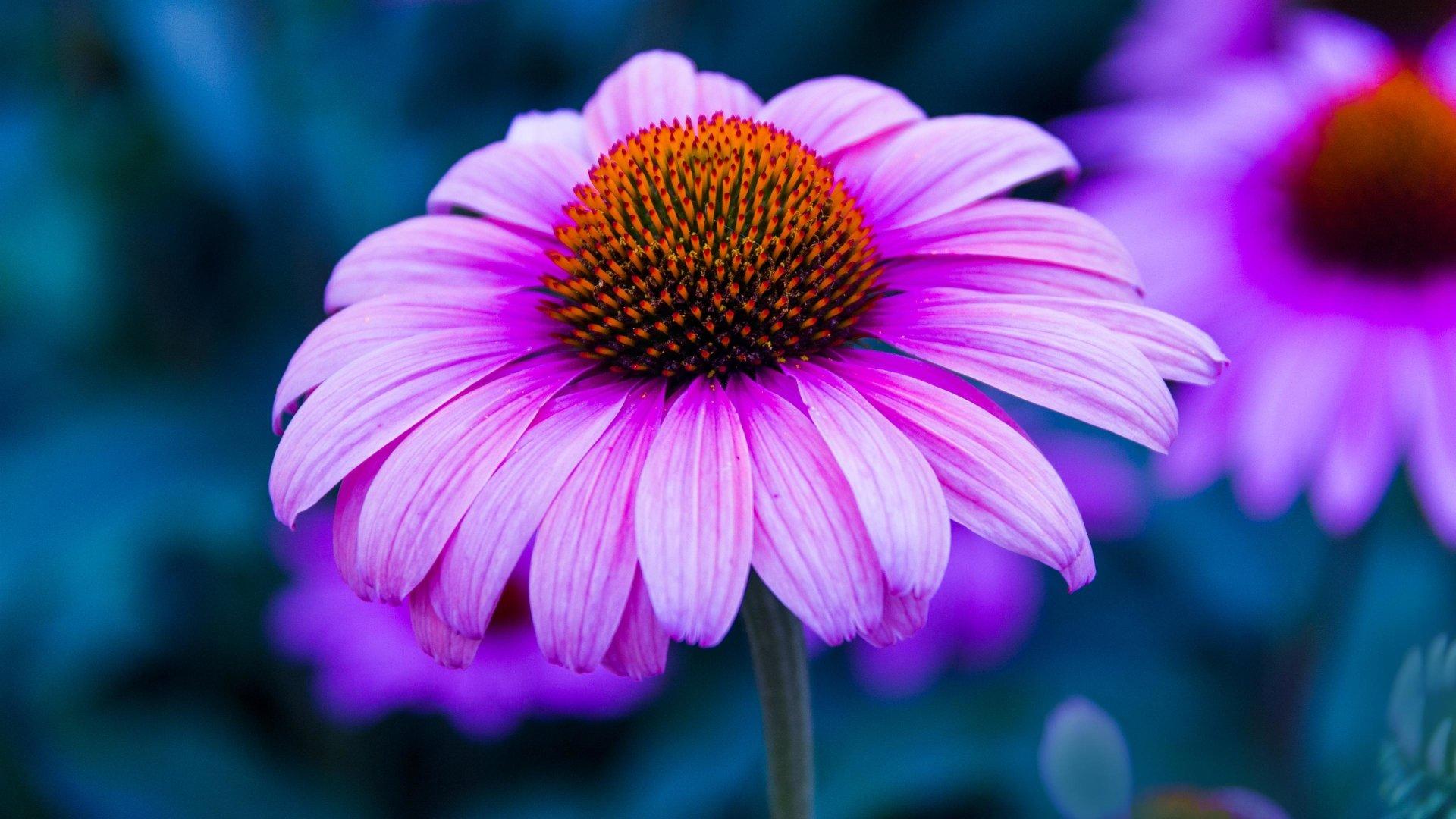 Purple Coneflower Wallpapers: Echinacea Flower 4k Ultra HD Wallpaper