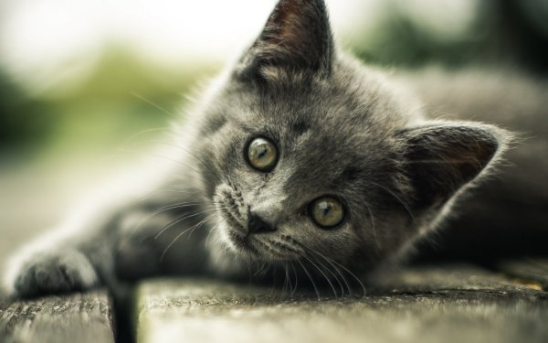 Animal Cat Cats Kitten Gray HD Wallpaper | Background Image