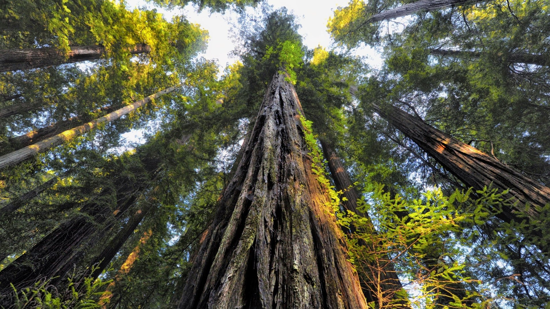 Looking Up At Redwood Trees 4k Ultra Hd Wallpaper