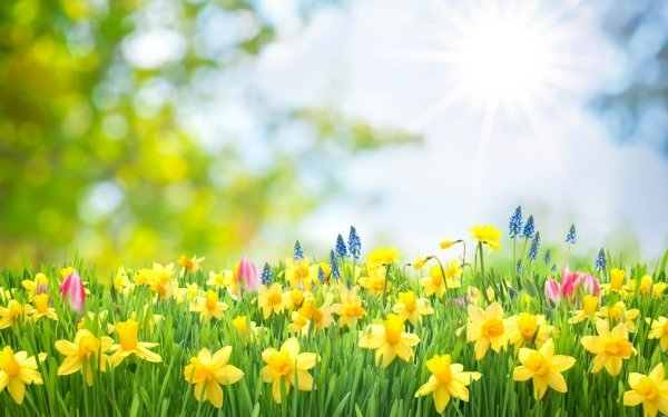 Earth Spring Flower Daffodil Grass Yellow Flower HD Wallpaper | Background Image