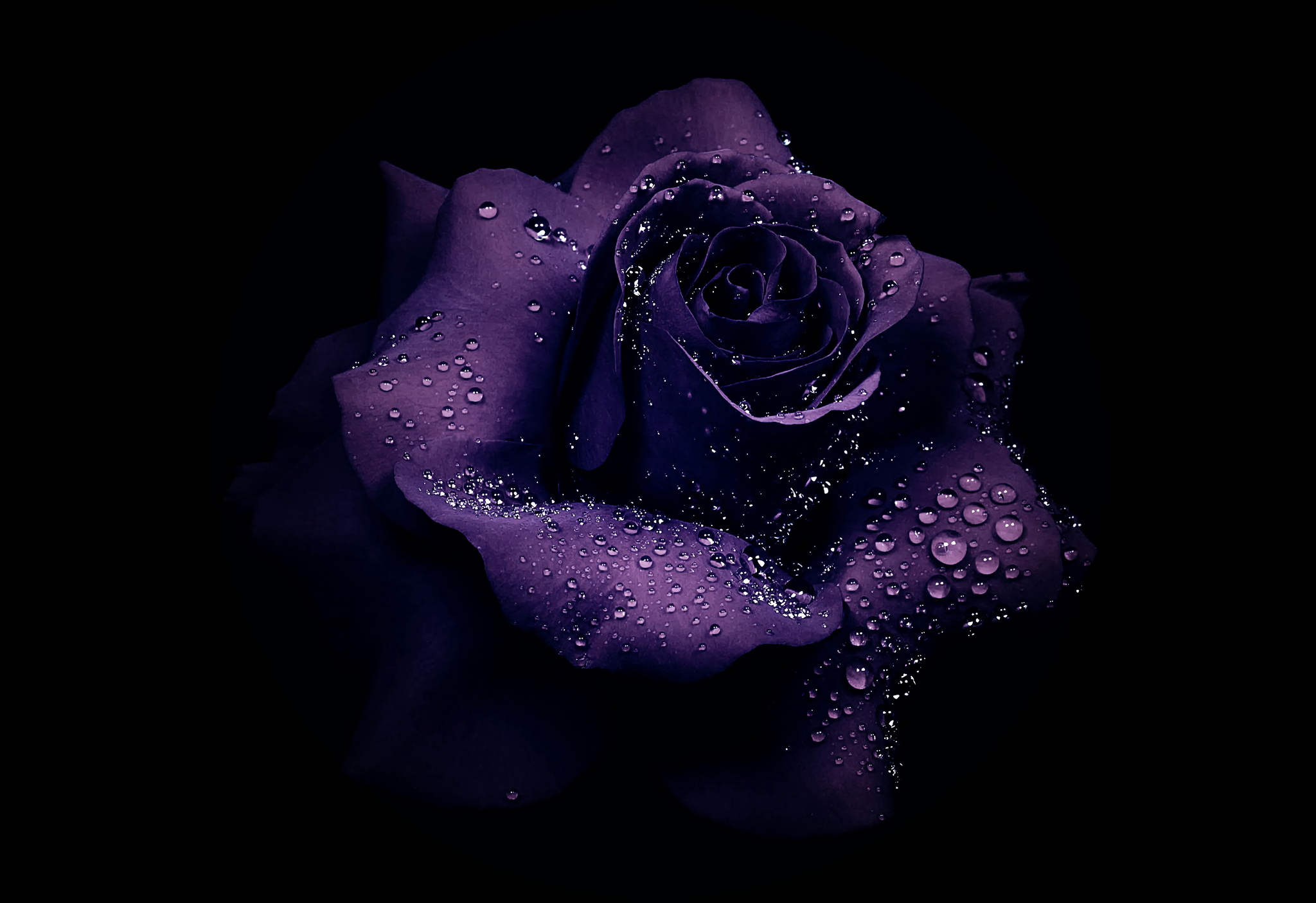 Purple Roses Background Images: Dew Drops On Purple Rose HD Wallpaper
