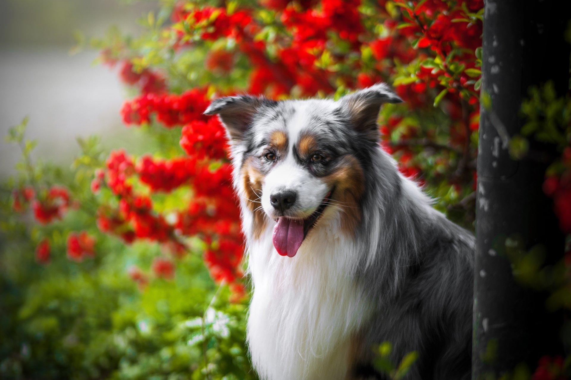 Animal - Australian Shepherd  Dog Pet Wallpaper