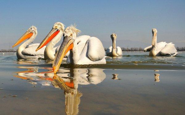 Animal Pelican Birds Pelicans Reflection Beak Bird Wildlife HD Wallpaper | Background Image
