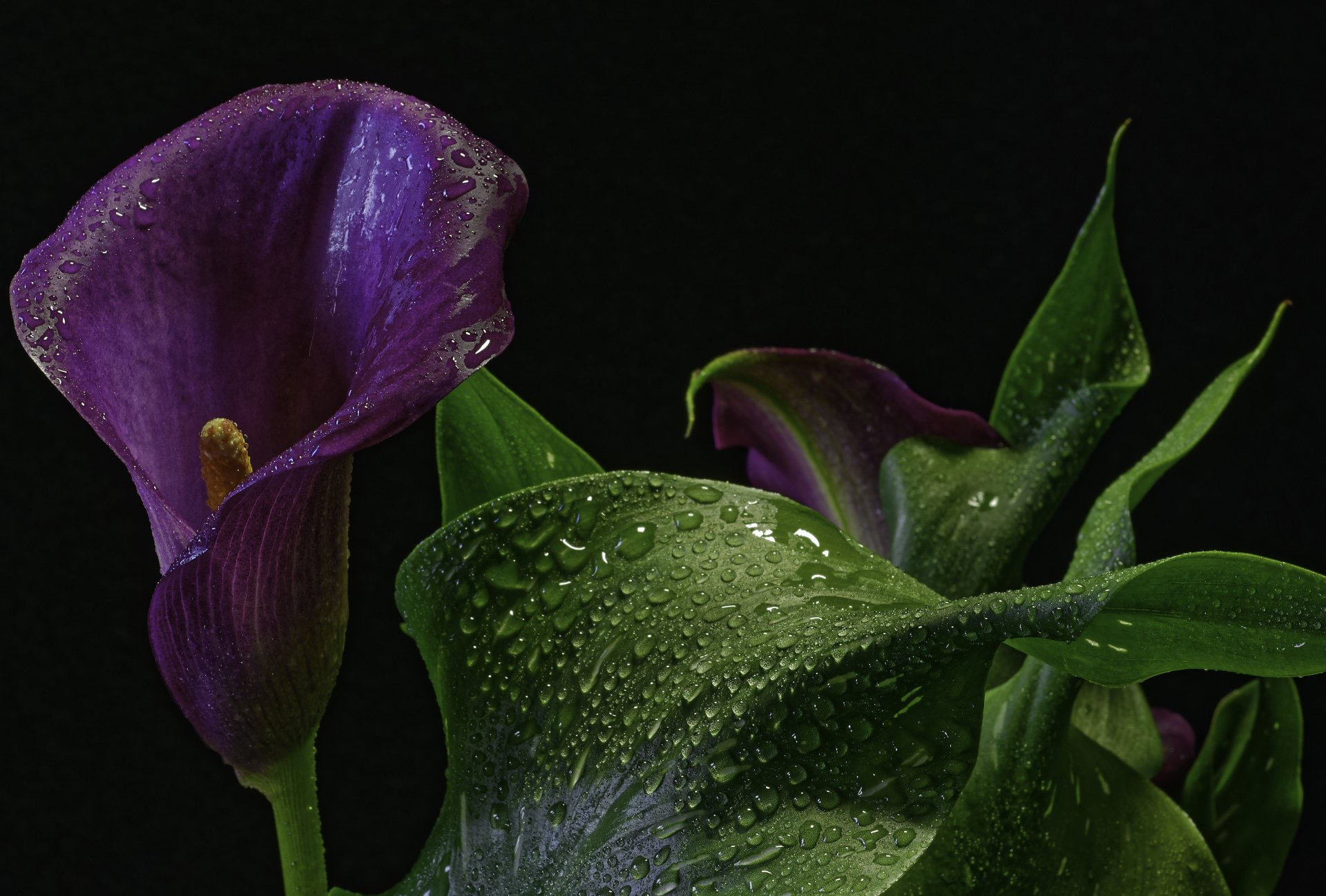 calla lily 4k ultra hd wallpaper background image