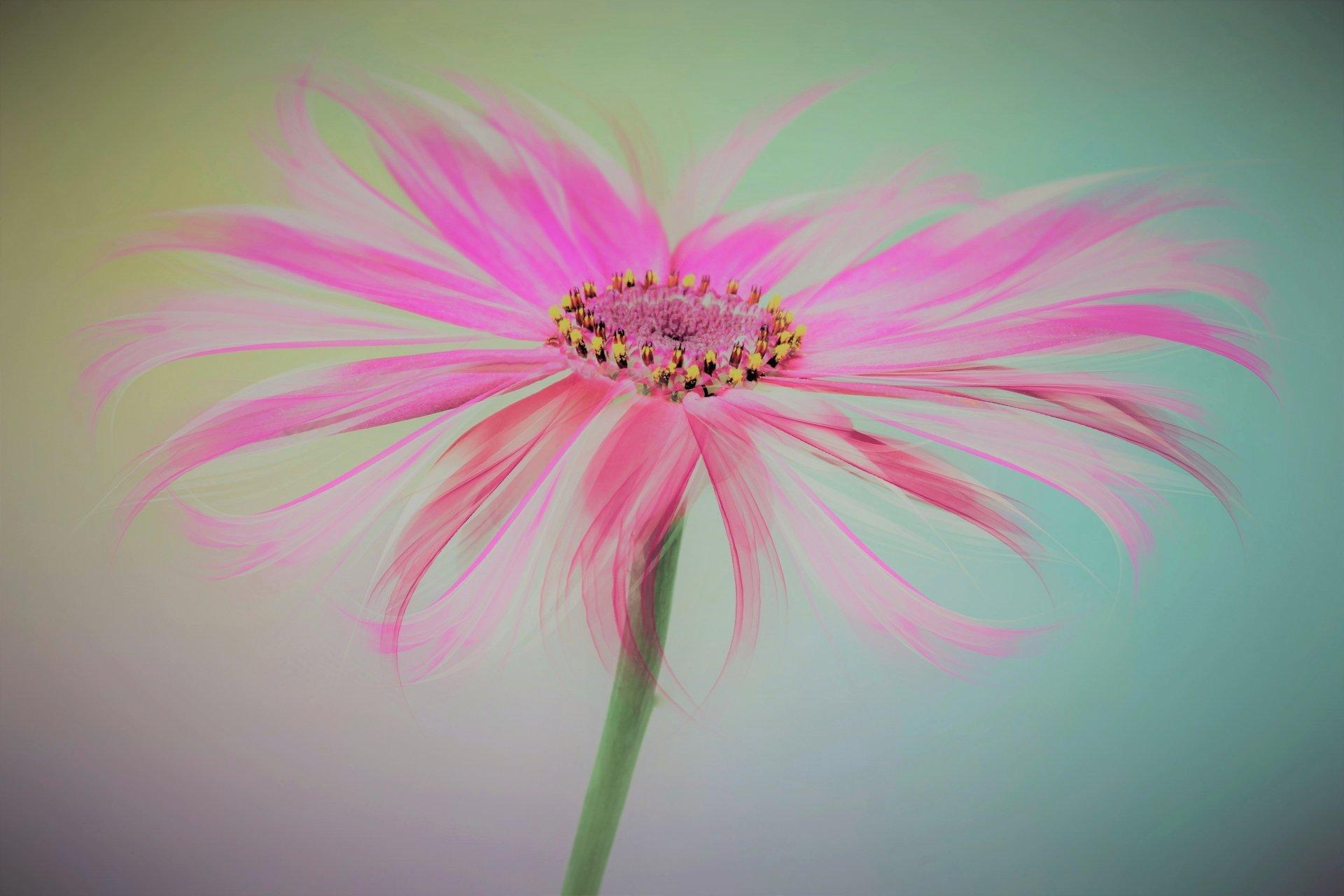 艺术 - 花  艺术 Pink Flower 壁纸