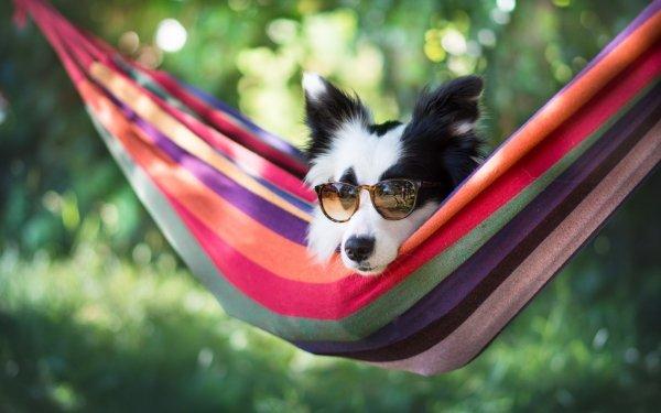 Animal Border Collie Dogs Hammock Dog Sunglasses Bokeh HD Wallpaper   Background Image
