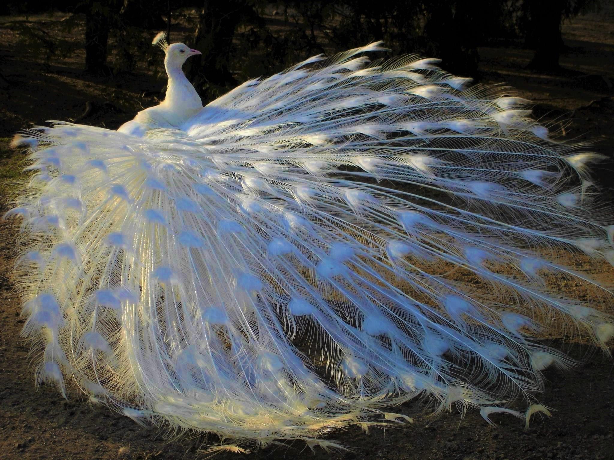 White (Albino) Peacock