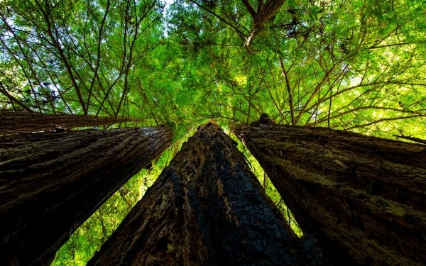 Earth Tree Trees Sequoia Green HD Wallpaper   Background Image