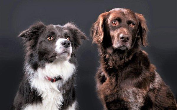 Animal Dog Dogs Border Collie Golden Retriever Pet Muzzle HD Wallpaper   Background Image
