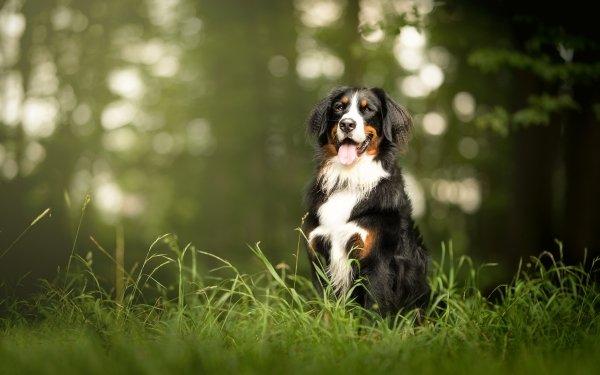 Animal Bernese Mountain Dog Dogs Dog Pet Bokeh Depth Of Field Sennenhund HD Wallpaper | Background Image
