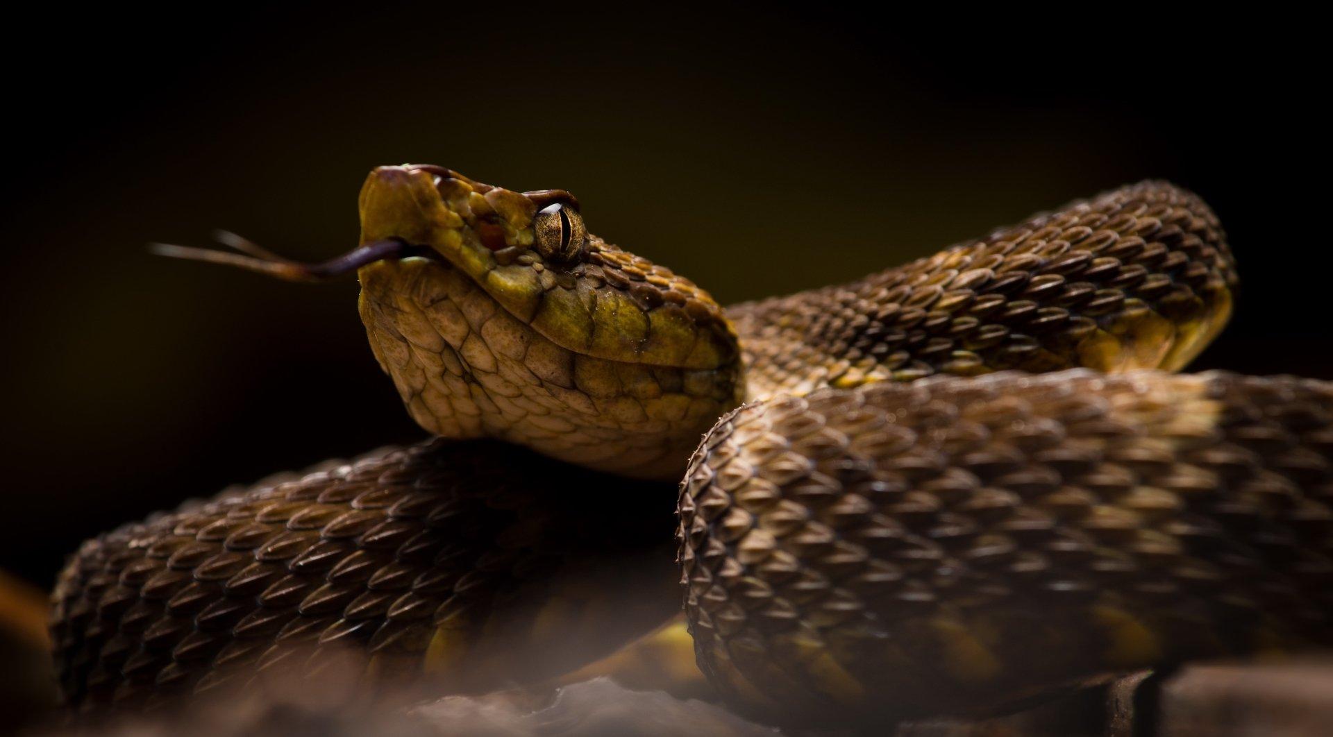 ferdelance bothrops atrox pit viper 4k ultra hd