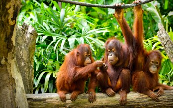 54 Orangutan Hd Wallpapers Background Images Wallpaper Abyss