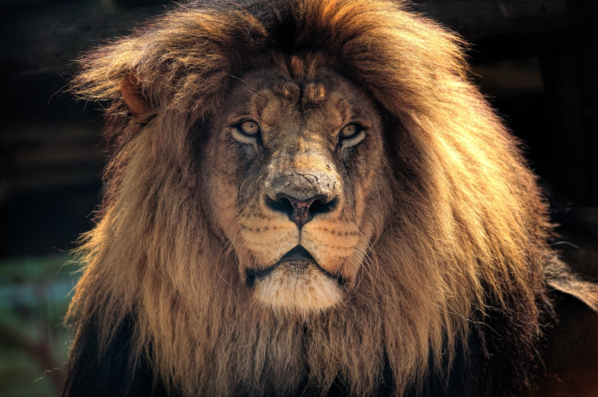 Animal - Lion  Big Cat Wildlife predator (Animal) Wallpaper