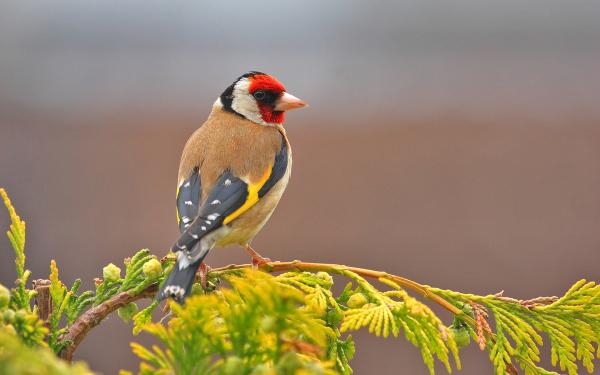 Animal Goldfinch Birds Passerines Bird European Goldfinch Colorful Branch Leaf HD Wallpaper | Background Image
