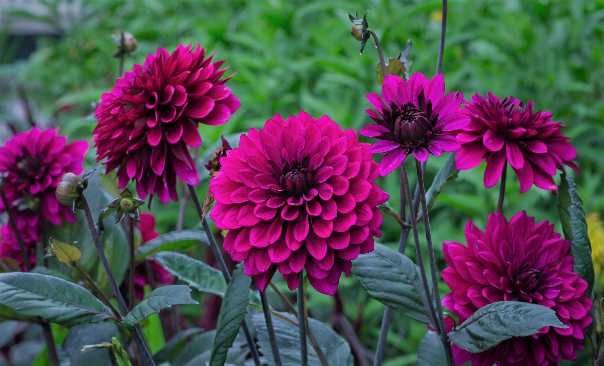 Purple Dahlias Full Hd Wallpaper And Background Image HD Wallpapers Download Free Images Wallpaper [1000image.com]