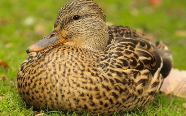 Animal Mallard Birds Ducks Bird Duck HD Wallpaper   Background Image