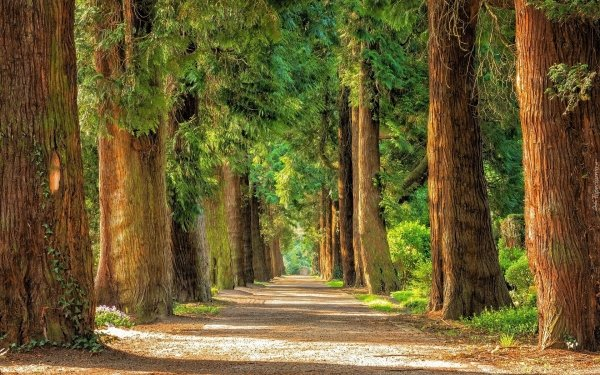 Man Made Road Tree-Lined Sequoia Green HD Wallpaper   Background Image