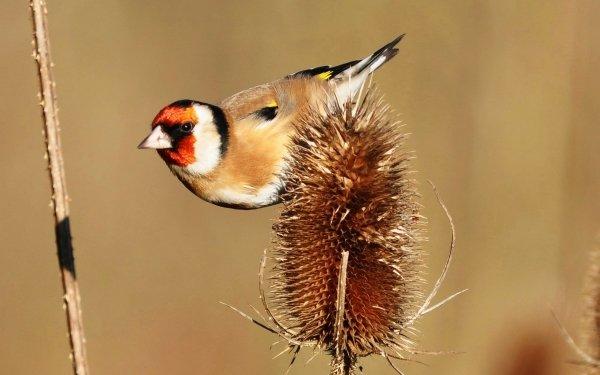 Animal Goldfinch Birds Passerines Bird Wildlife European Goldfinch HD Wallpaper | Background Image