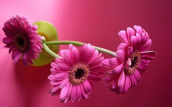 Construction Humaine Fleur Gerbera Pink Flower Fond d'écran HD | Image