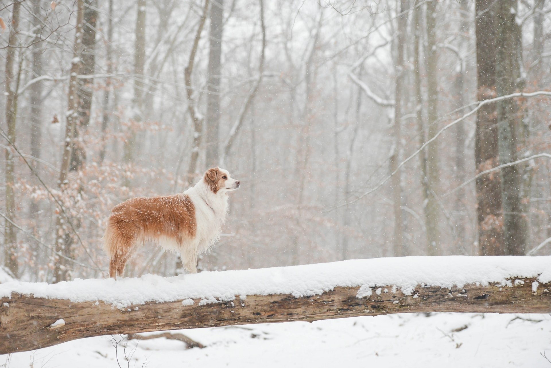 Animal - Australian Shepherd  Dog Pet Winter Snow Wallpaper