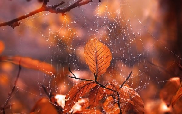Photography Spider Web Water Drop Macro Leaf Fall Depth Of Field HD Wallpaper | Background Image