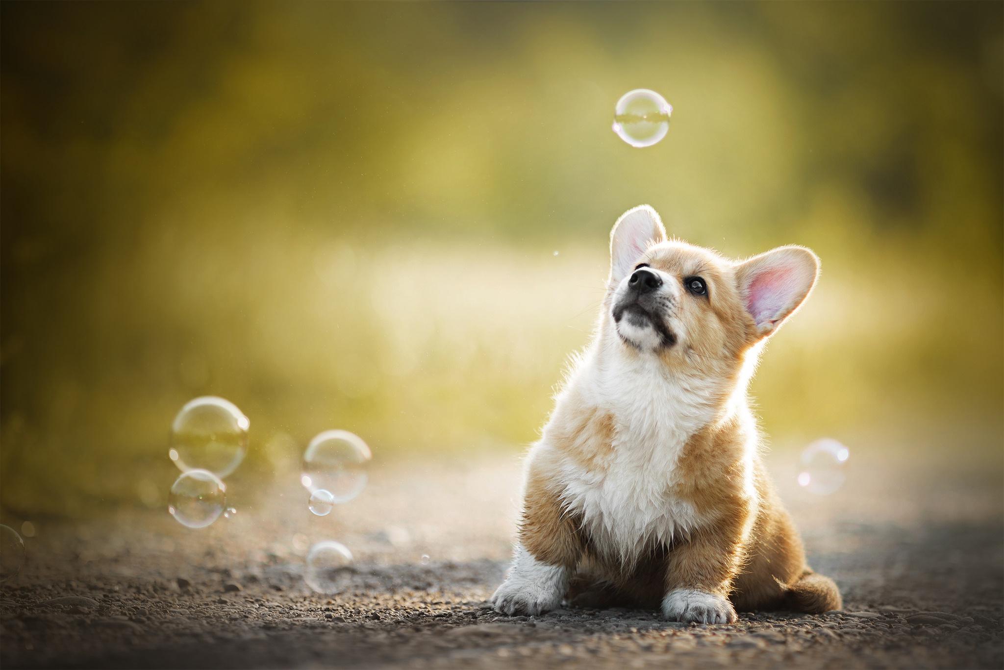 Corgie Dog Puppy